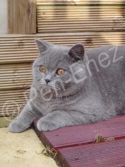 Be_a_british-cat-Pen Enez2