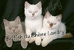 british_shorthair_du_chene_landry - liste_eleveurs