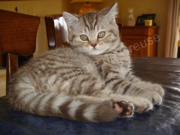 Chaton British longhair chocolat silver mackerel tabby