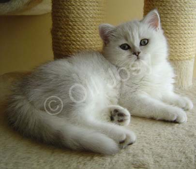British shorthair black silver shaded