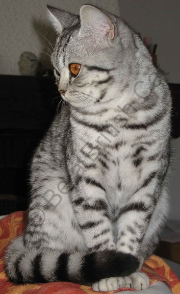 Femelle British shorthair black silver spotted tabby