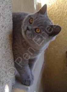 Chatonne British Shorthair bleue