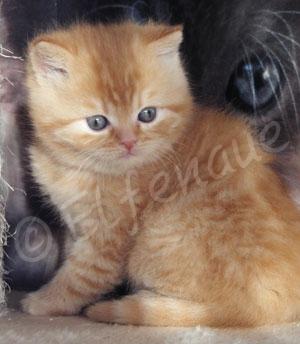 Chaton British shorthair red (roux)