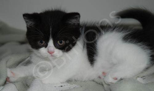 Chaton British shorthair noir et blanc