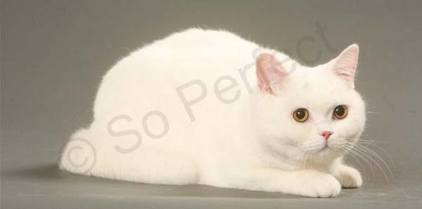 Femelle British shorthair blanche