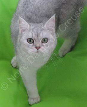Femelle British shorthair bleu silver shaded