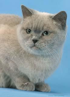 Femelle British shorthair bleu mink