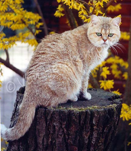 Femelle British shorthair black golden shaded