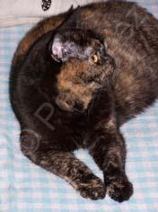 Femelle British shorthair black tortie