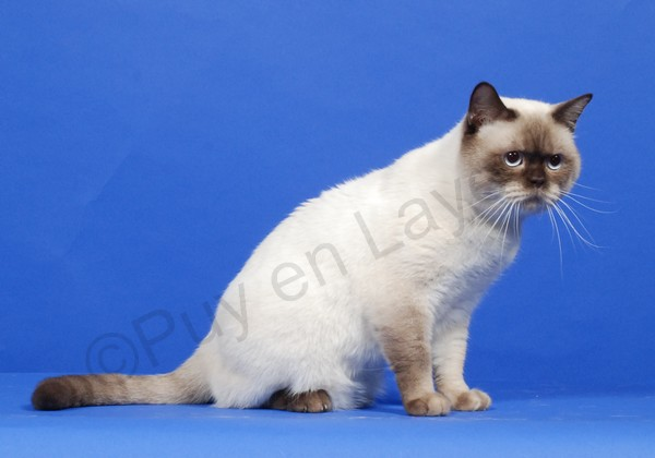 Mâle British shorthair chocolat point