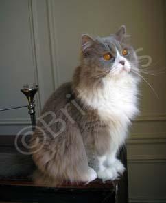 Mâle British longhair lilac et blanc