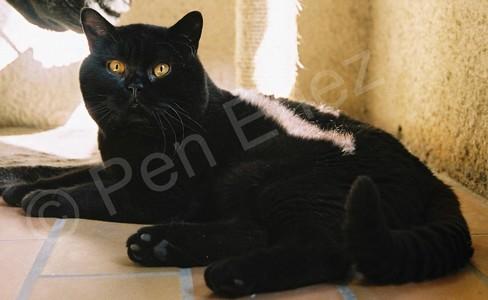 Mâle British shorthair noir